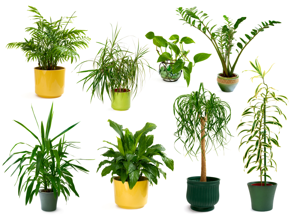 Houseplants for Air Quality
